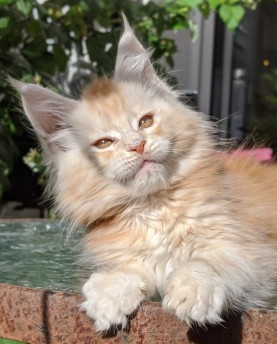 Chatterie Coon Toujours, Ryuk de Coon Toujours, chaton maine coon mâle, 10 semaines, red silver blotched tabby