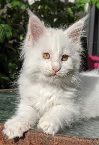 Chatterie Coon Toujours, Roswell de Coon Toujours, chaton maine coon mâle, 10 semaines, blanc