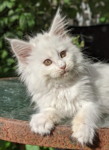 Chatterie Coon Toujours, Riverside de Coon Toujours, chaton maine coon femelle, 10 semaines, blanche