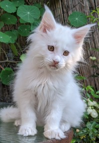 Chatterie Coon Toujours, Roswell de Coon Toujours, chaton mâle, 11 semaines, blanc yeux or