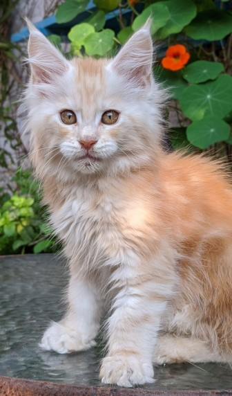 Chatterie Coon Toujours, Ryuk de Coon Toujours, chaton mâle, 11 semaines, red silver blotched tabby