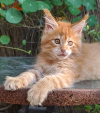 Chatterie Coon Toujours, Red Hot de Coon Toujours, chaton maine coon mâle, 11 semaines, red mackerel tabby
