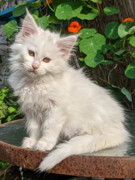 Chatterie Coon Toujours, Riverside de Coon Toujours, chaton maine coon femelle, 11 semaines, blanc yeux or