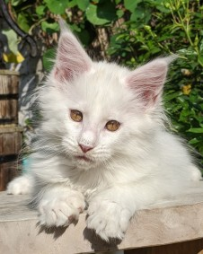 Chatterie Coon Toujours, Roswell de Coon Toujours, chaton mâle maine coon, 12 semaines, blanc yeux or