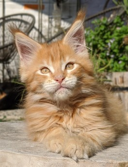 Chatterie Coon Toujours, Red Hot de Coon Toujours, chaton mâle maine coon, 12 semaines, red mackerel tabby