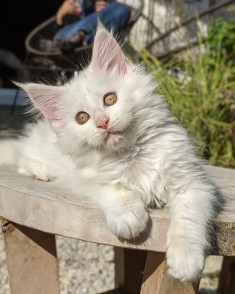 Chatterie Coon Toujours, Iverside de Coon Toujours, chaton femelle maine coon, 12 semaines, blanche yeux or