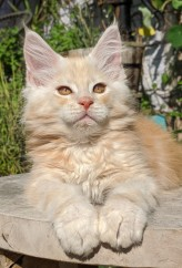 Chatterie Coon Toujours, Ryuk de Coon Toujours, chaton mâle maine coon, 12 semaines, red silver blotched tabby
