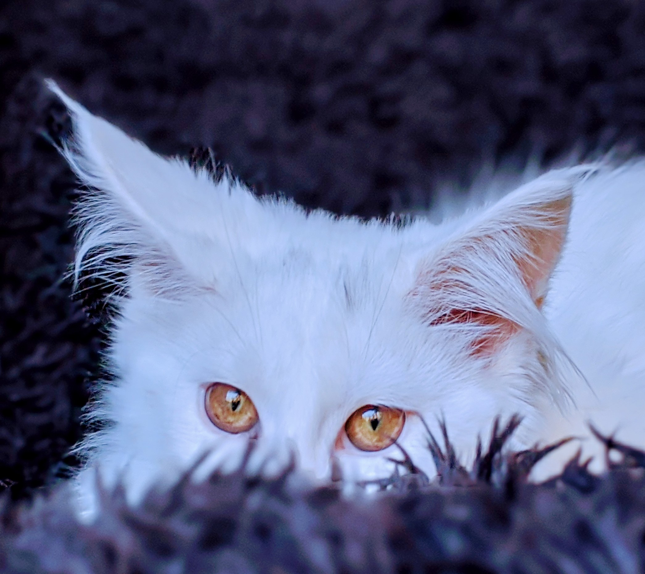 Chatterie Coon Toujours, Riverside de Coon Toujours, chaton femelle maine coon, blanche, yeux or, 5 mois