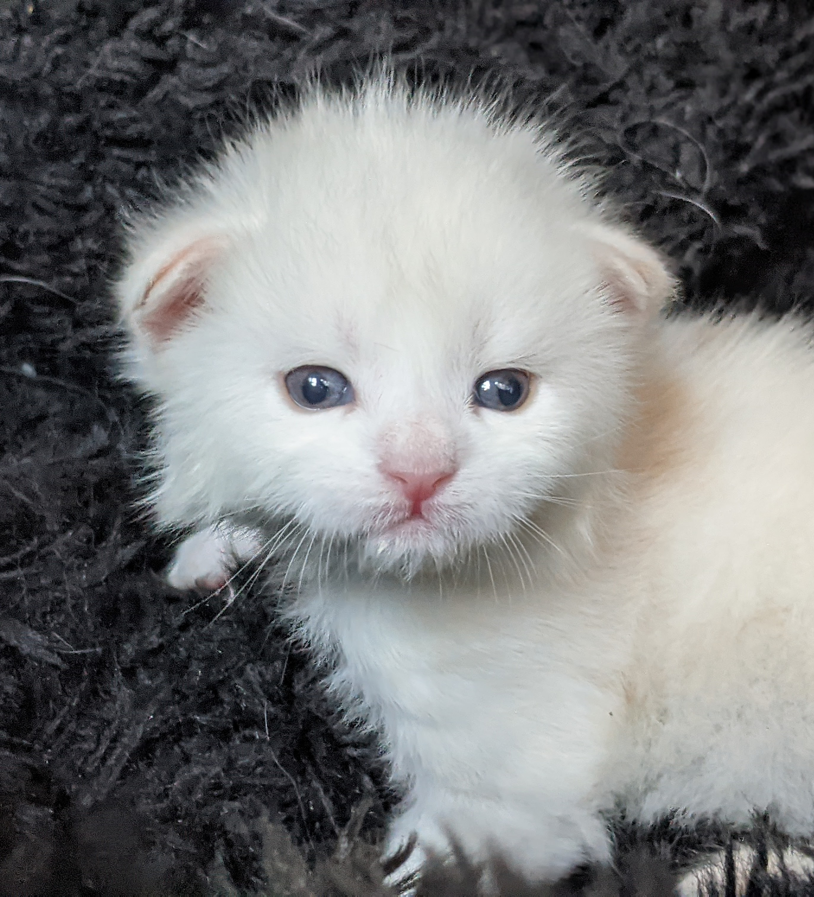 Chatterie Coon Toujours, Ramdam de Coon Toujours, chaton mâle maine coon, trois semaines